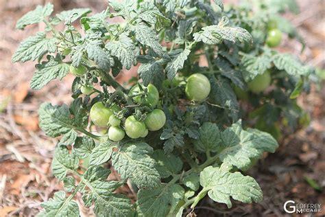 toxic edible plants - Tomatillo Toxic