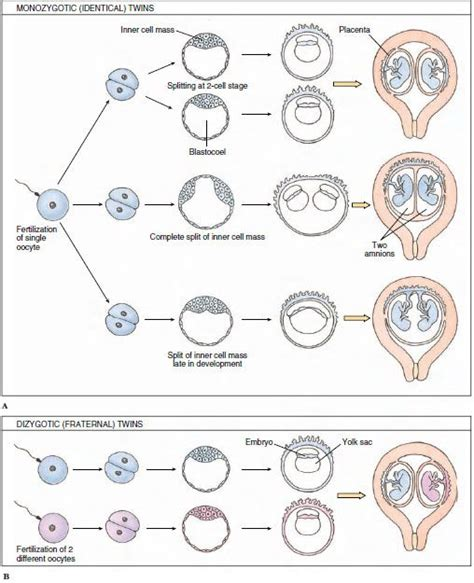 diagram of how identical are formed fraternal texts and births on