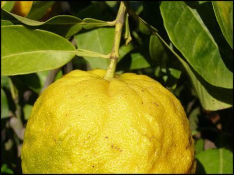 limoni in vaso inverno come coltivare gli agrumi sul balcone anche d inverno