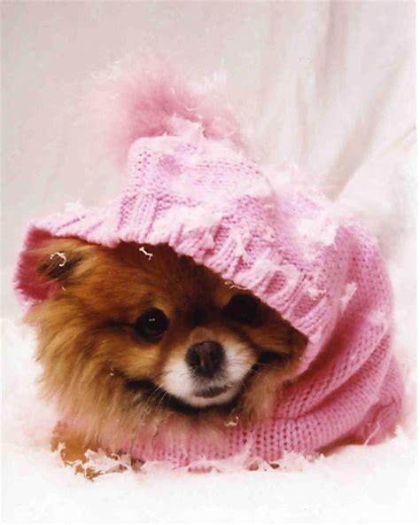 teacup pomeranian clothes teacup pomeranian clothes dress the clothes for your pets