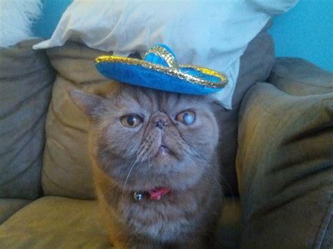 el gato con sombrero 1930332432 un gato que lleva un sombrero con mucho estilo schnauzi com