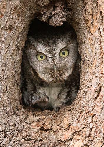 story behind the 10s screech owl mnnaturephoto