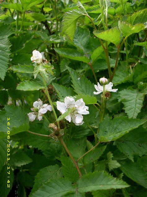 r fruticosus wildobstschnecke rubus fruticosus quot navaho quot s