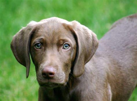 weimaraner dogs weimaraner dogs breeds pets