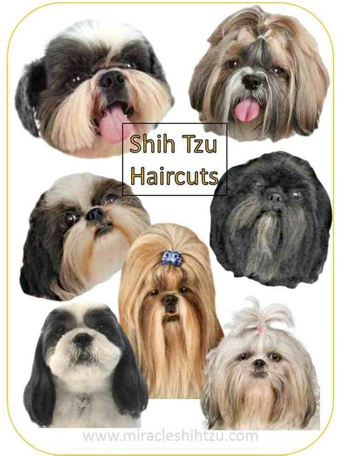 shih tzu with hair shih tzu haircuts haircuts hair style and
