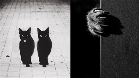 fotos en blanco y negro increibles the mysterious lives of cats in black white photographs