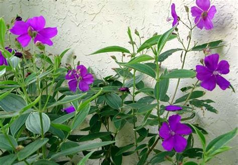 Bibit Bunga Of The Valley pembekal anak pokok princess flower tanaman tibouchina