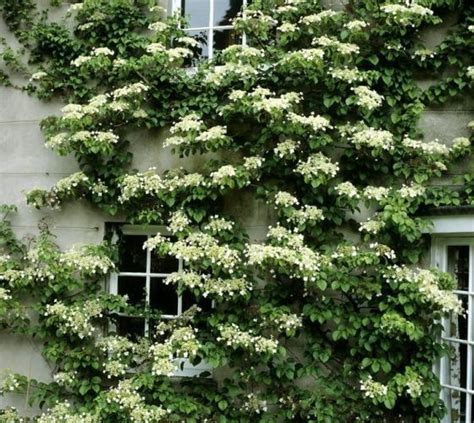 seemannii evergreen climbing hydrangea vines pinterest pools climbing and climbing hydrangea