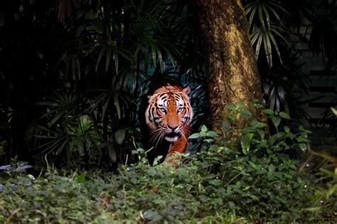 rare indochine tigers  breeding   thai jungle  trading news