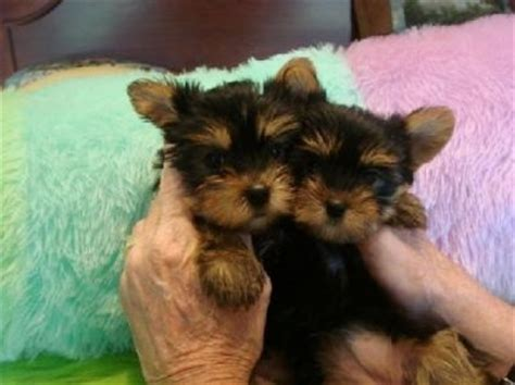 yorkie puppies for adoption in ma adorable yorkie puppies for adoption