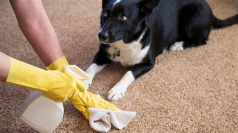 my dog keeps peeing on my couch how to get the smell of pet urine out of carpet angies list