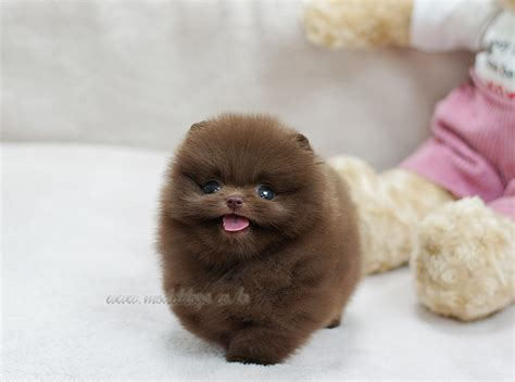 how bad is chocolate for dogs pomeranian puppy oh i want a solid chocolate pomp
