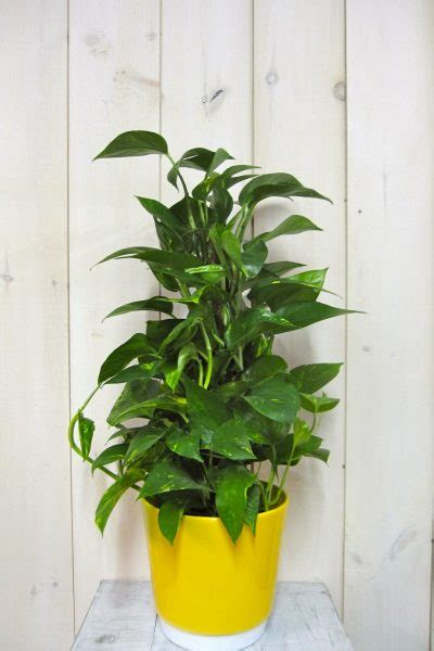 golden pothos archives sitsitso plants archives abaca fleuriste