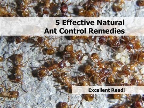 5 effective ant remedies