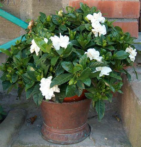 gardenia in vaso piante da vaso gardenia gardenia amoena gardenia