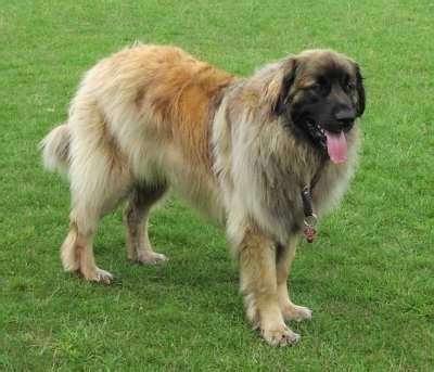 leonberger german mountain 1000 images about the leonberger on