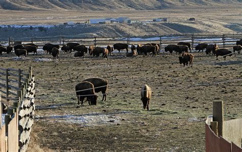 Stephens Creek Cabin by Shipment Of Bison From Stephens Creek Starts Today
