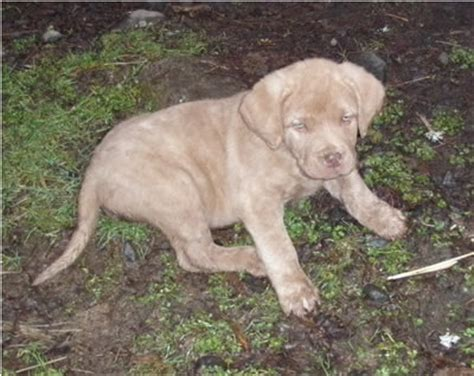 akc chesapeake bay retriever puppies for sale akc chesapeake bay retriever puppies for sale farnell farm purebred breeds picture