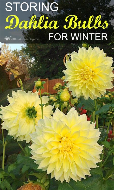 storing dahlia bulbs for winter a step by step guide