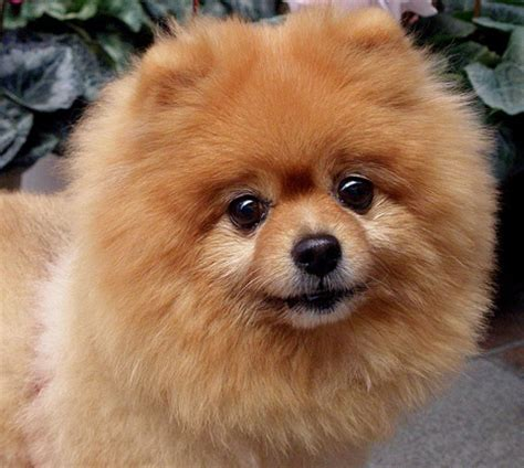 pomeranian therapy 17 best images about puppy on ruby tibetan mastiff and