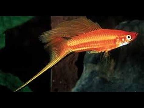 Vitamin Nafsu Makan Ikan Hias Fresh 1 ikan platy melahirkan burayak platy fi