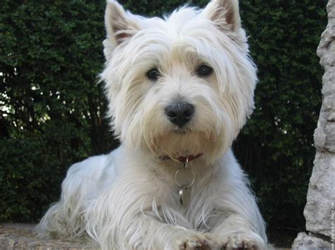 west highland white terrier 13 background wallpaper