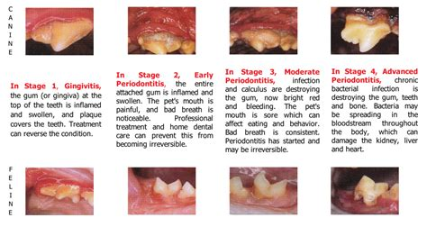 puppy teeth diagram teeth age chart breeds picture