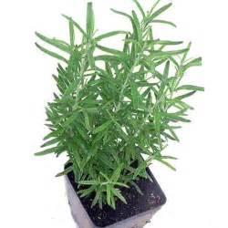 Starting A Herb Garden Indoors - indoor herb garden with rosemary kris allen daily