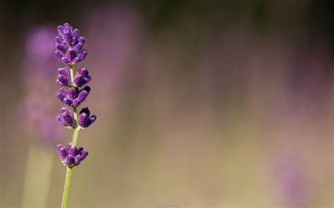 wallpaper flower lavender lavender flower wallpaper high definition high quality