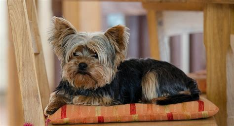 unique yorkie names yorkie names 200 amazing ideas for naming terriers