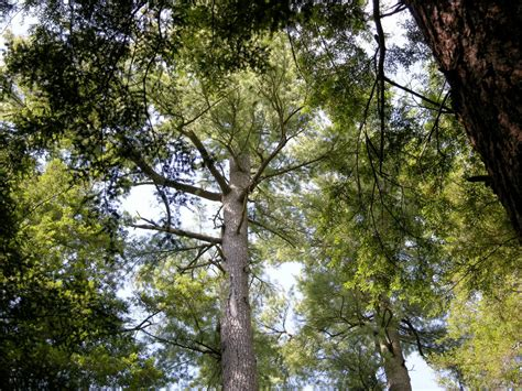 trees in pa the majestic growth eastern white pines of