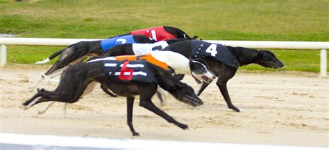 greyhound racing greyhound racing pictures posters news and on