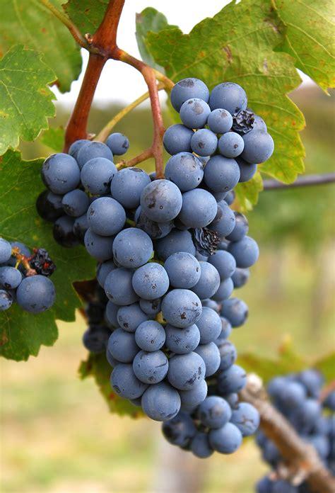 file laska grape cluster jpg
