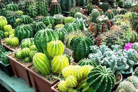 tips mempercantik kaktus hias