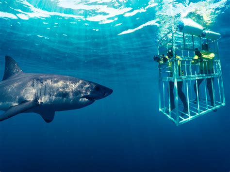 dive shark shark cage diving cape town activities africa