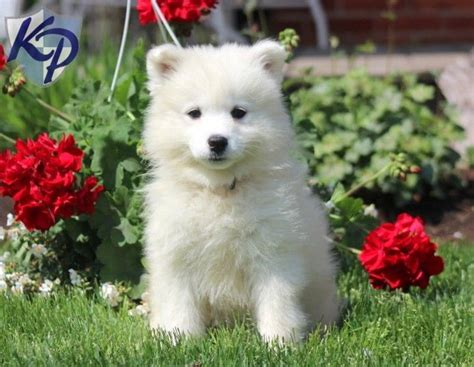 samoyed puppies for sale mn best 25 samoyed puppies for sale ideas on samoyed samoyed puppies