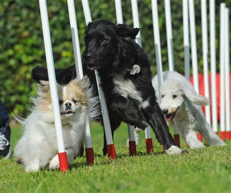 puppy agility akc eukanuba national chionship show south bay pets