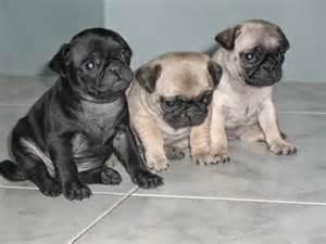 tipos de perros pugs pre 241 ez de la raza pug perros pugperros pug