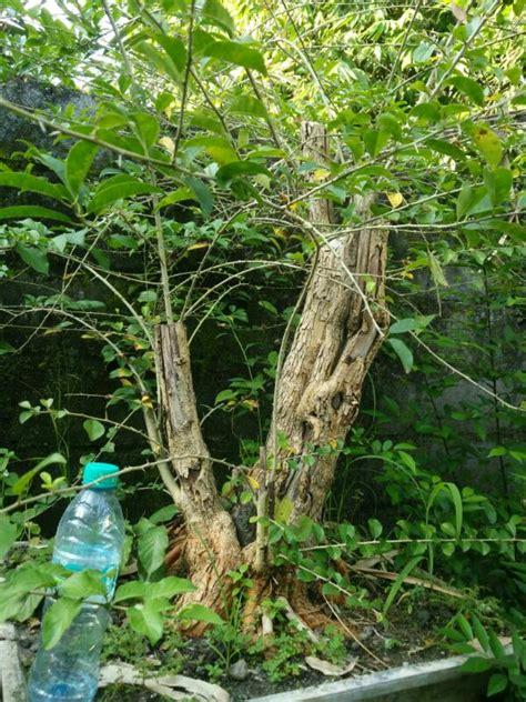 Sisir Di Indo 266 sisir xl 2 jual bonsai murah pohon tanaman