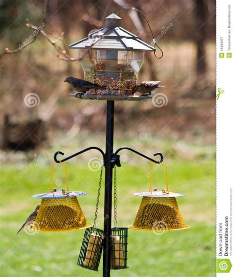 feeding finches backyard feeding backyard birds royalty free stock photography