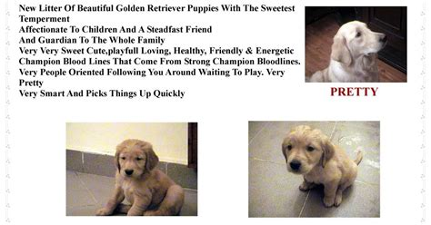 golden retriever puppies for sale in southern california golden retriever puppies in golden retriever puppies for sale in cairo