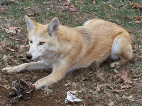 coyote puppy coydogs