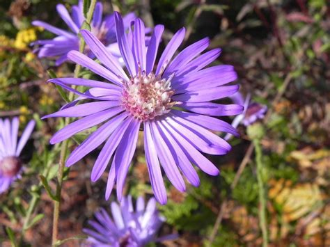 fiori astri astro aster perenni astro aster perenni