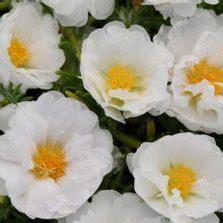 Biji Benih Four O Clock Yellow benih bunga pukul empat putih