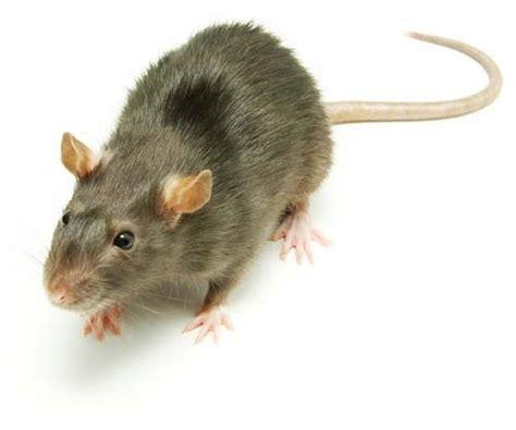 imagenes en movimiento de ratones environmental science plagas