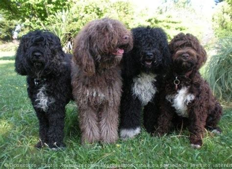 barbet puppies 110 best images about barbet on the netherlands poodles and puppys