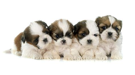 how many times does a shih tzu puppy eat tips to housebreaking a shih tzu puppy coder global