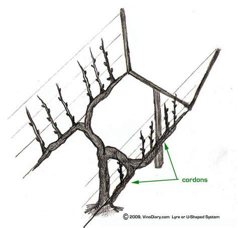 Lyre Trellis System u shaped or lyre trellis viticulture trellis