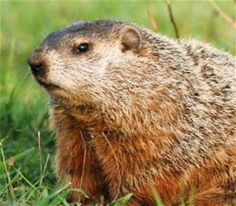 groundhog day quora what is the difference between a groundhog and a hedgehog