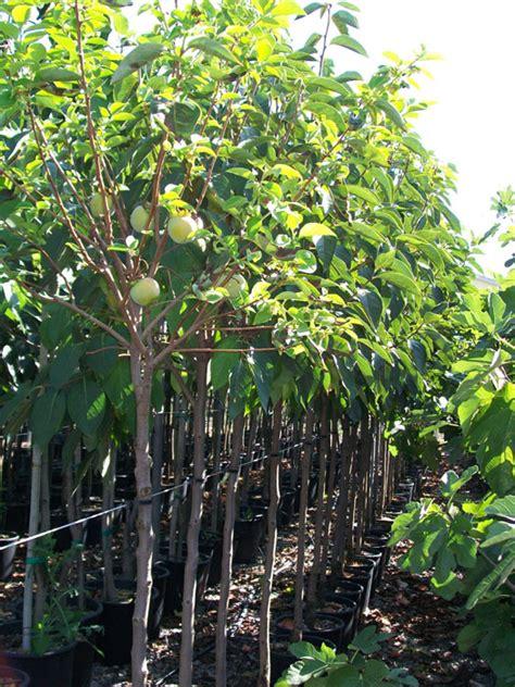 vivai piante da frutto piante da frutta vendita piante da frutto lu oasi vendita